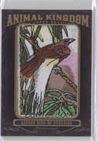 Lesser Bird of Paradise