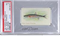 Red Sided Minnow [PSA 5]