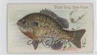 Blue Gill Sun Fish