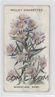Michaelmas Daisy [Poor]