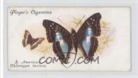 Foreign Butterflies: South America, Chlorippe lavinia