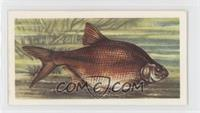 Bronze Bream
