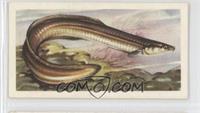 Silver Eel