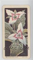 Painted Trillium