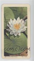 Sweet-Scented White Water-Lily