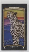 Horizontal - Cheetah #/17