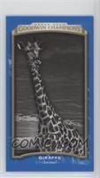 Black & White - Giraffe
