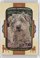 Tier 1 Terrier - Norfolk Terrier