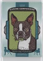 Tier 4 Non-Sporting - Boston Terrier