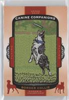 Tier 6 Flying Dogs - Border Collie