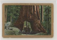 The Big Trees in the Yosemite, U.S.A. [PoortoFair]