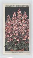 Schizanthus [GoodtoVG‑EX]
