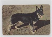 German Shepherd [PoortoFair]