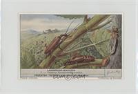 Vesperus Xatarti - Druivenluis