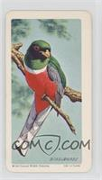 Coppery-Tailed Trogon