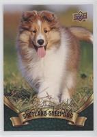 Puppy Variant - Shetland Sheepdog