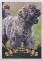 Puppy Variant - Bouvier Des Flandres