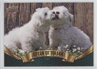 Puppy Variant - Coton de Tulear