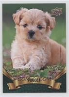 Puppy Variant - Poodle