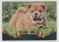 Puppy Variant - Chow Chow
