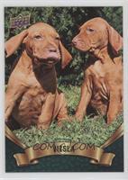 Puppy Variant - Vizsla