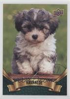 Puppy Variant - Havanese