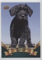 Puppy Variant - Portuguese Water Dog
