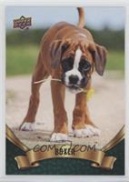 Puppy Variant - Boxer